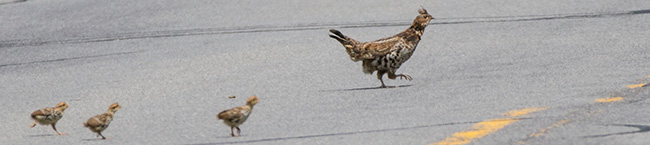 photo of Ruffed Grouse hen and 3 of her 9 chicks