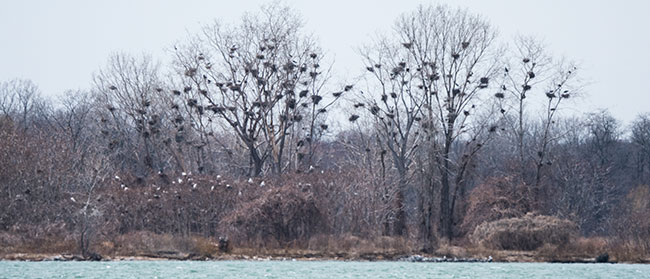 photo of heron rookery