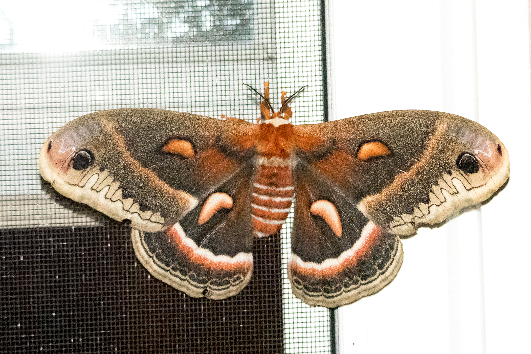 image of Cecropia Silkmoth