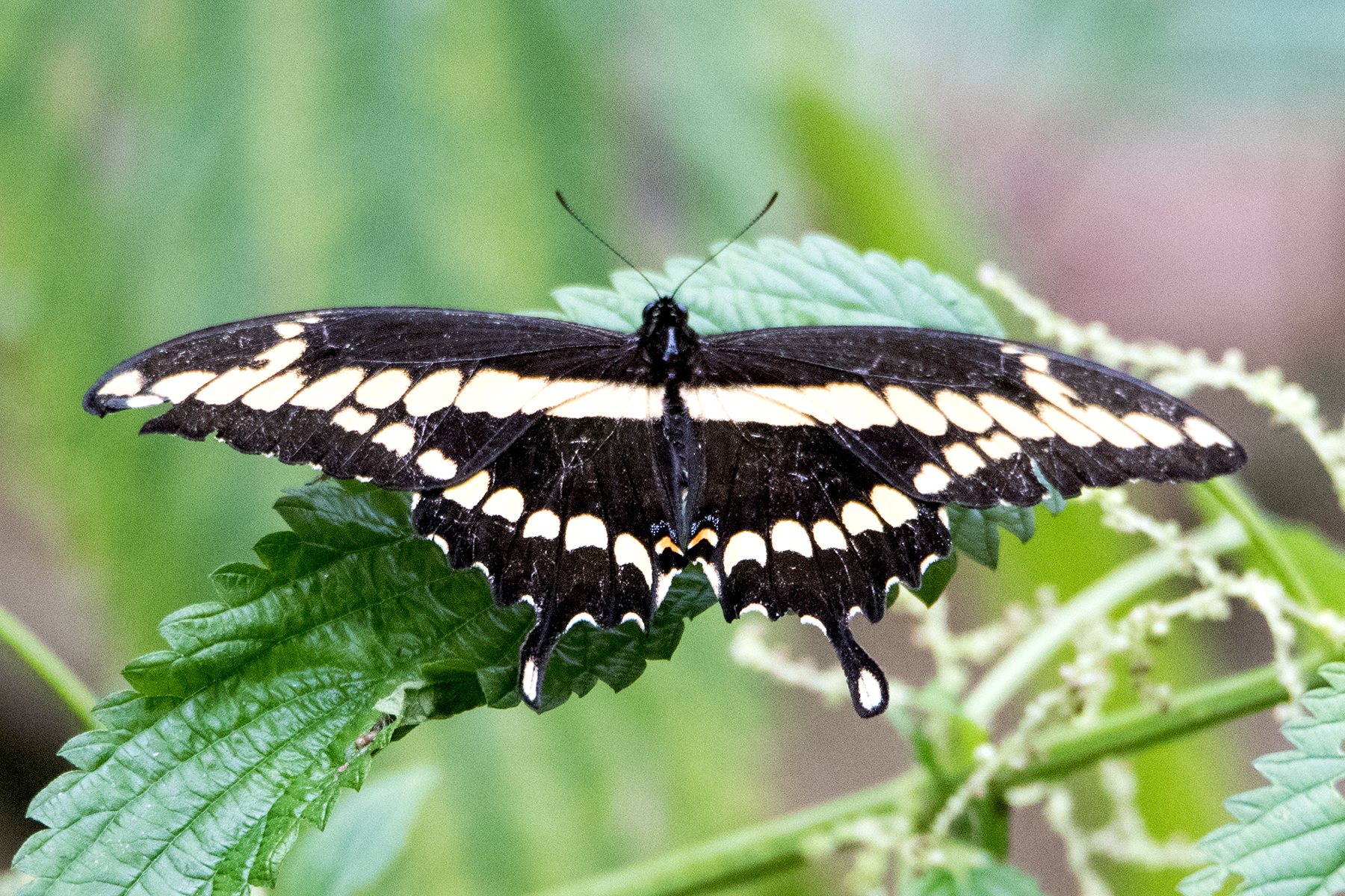 image of Giant Swallowtail