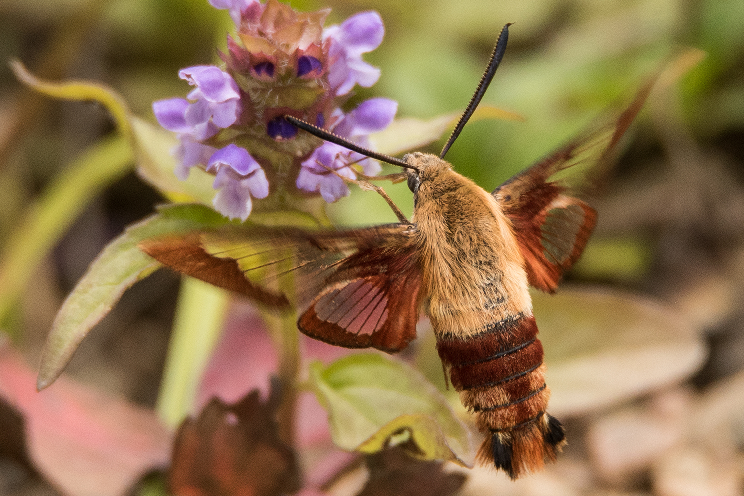 image of Hummingbird Clearwing