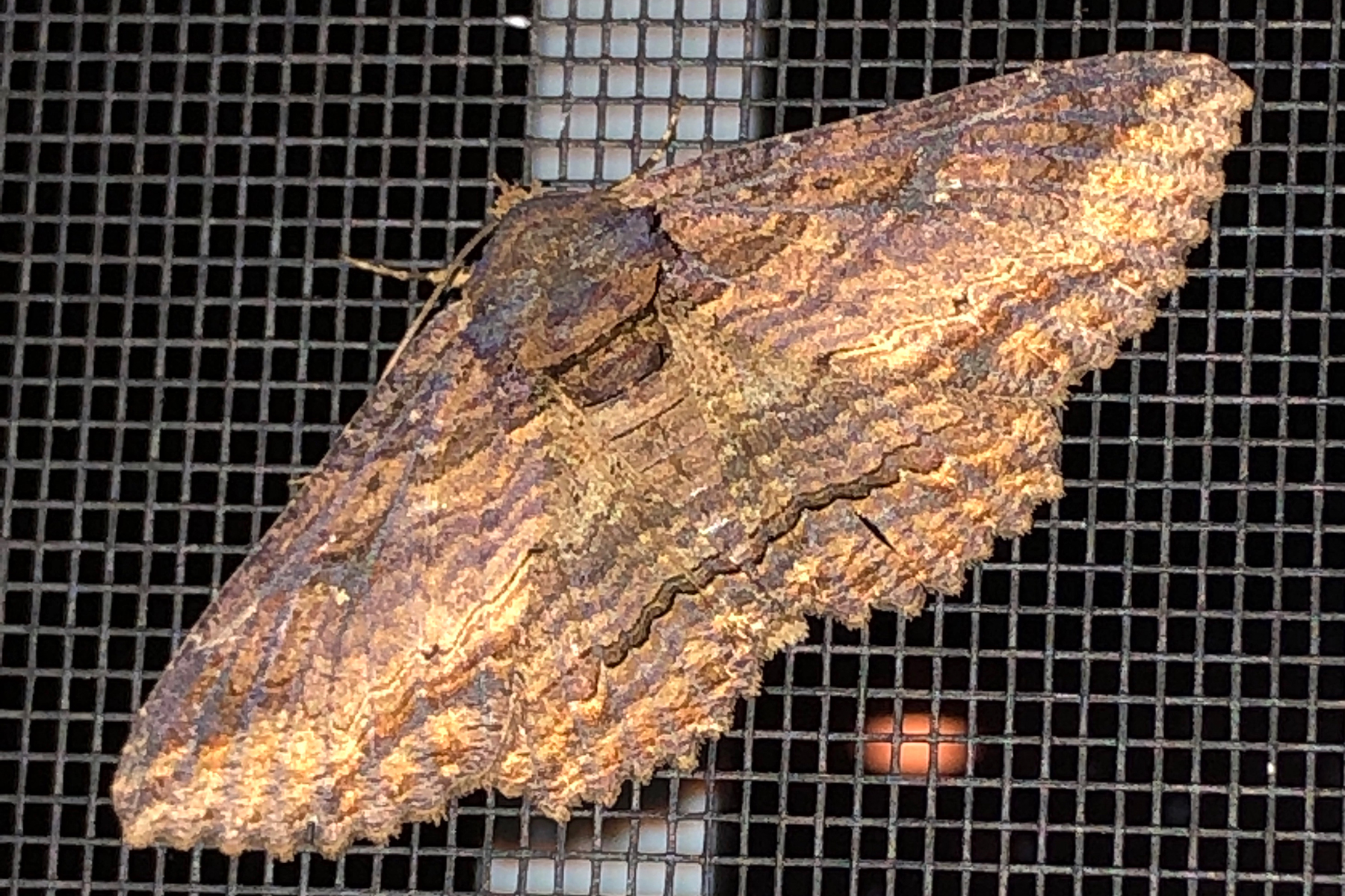 image of Lunate Zale Moth