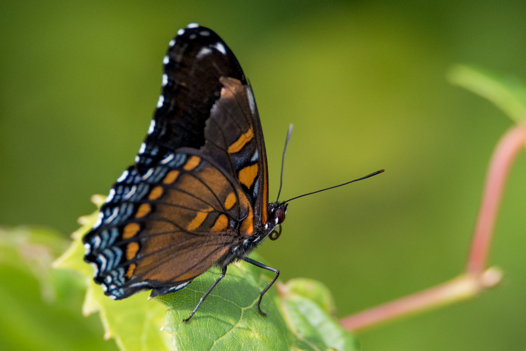 image of Red-spotted Purple
