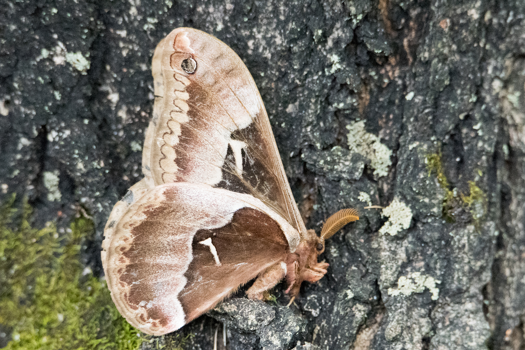 image of Tuliptree Silkmoth