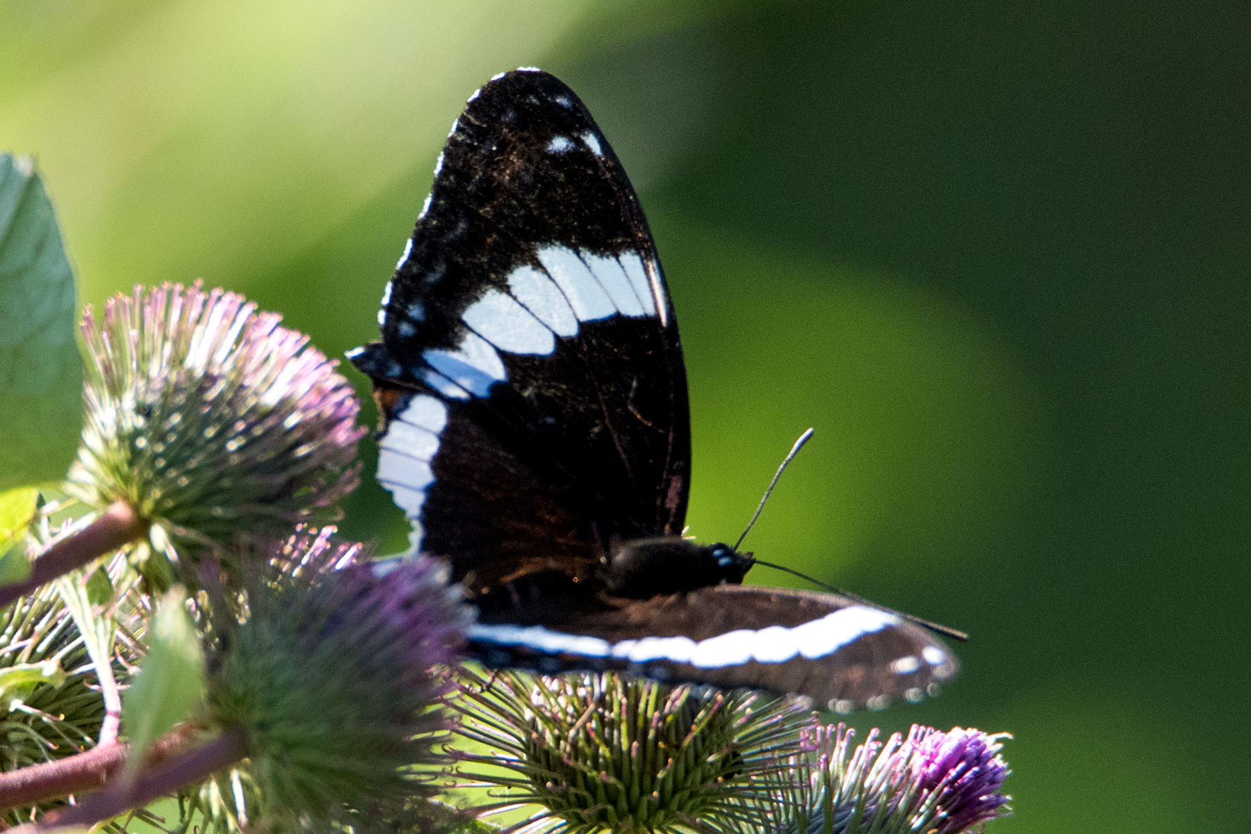 image of White Admiral